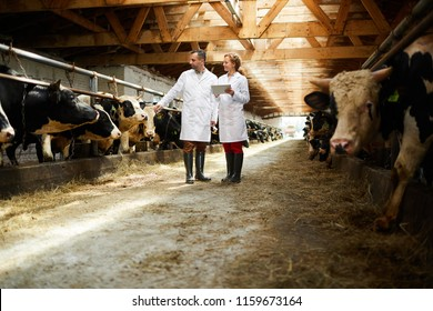 Two colleagues in whitecoats standing between two stables with dairy cows and discussing their characteristics