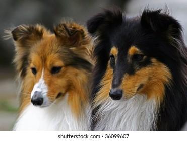 Two collie portrait