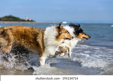 two collies focused on their toy running into the sea