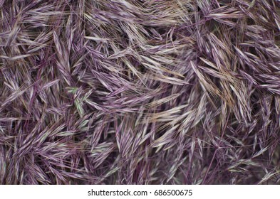 Two color background. Yellow and purple brown texture. Spikelet nature background
