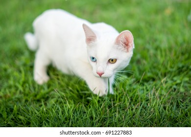 Two color eyes of white kitten in the garden, cat on grass