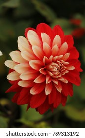 Two colored Dahlia flower