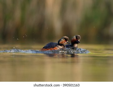 Two colorful Black-necked Grebes, Podiceps nigricollis, males in fight during mating season on lake against blurred reed in background,photo taken from water surface with floating hide.Spring, Europe.