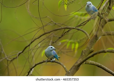 Two colorful blue birds, Blue-gray Tanager, Thraupis episcopus, perched on twigs against   abstract green background. Trinidad rainforest. Trinidad and Tobago.