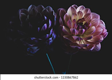 Two colorful dahlia flowers