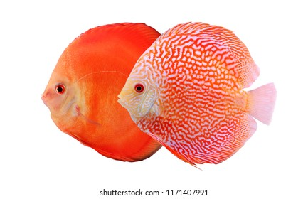 Two colorful discus fishes isolated on white background. Beautiful freshwater aquarium fish