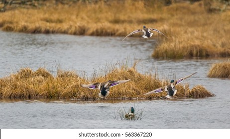 Two colorful ducks flying over a pond. Nisqually wildlife refuge, Washington, USA