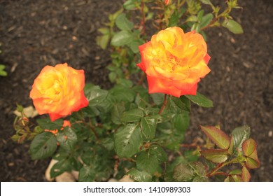 Two Colorful Judy Garland roses on a rose bush in a garden.
