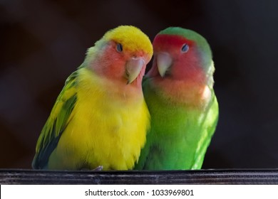 Two colorful parrots, Rosy-faced lovebird, Agapornis roseicollis, also known as rosy-collared or peach-faced lovebird, are in love against black background