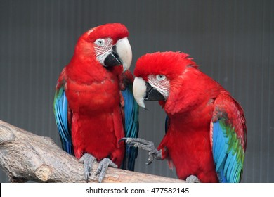 Two colorful parrots, sitting together on a tree branch.