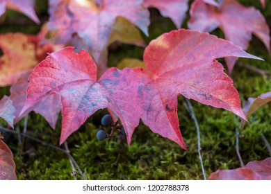 two colorful red wild grape leaves closeup