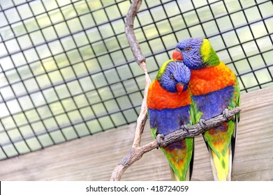 Two colorful romantic lorikeet birds in a cage.