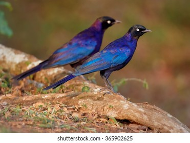 Two colorful violet blue Rueppell's Glossy-starlings Lamprotornis purpuropterus on the edge of the bank. Bright white eye,metallic blue feathers.Orange soil, blurred background.  Africa,Uganda.