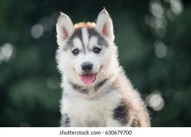 two colors eye siberian husky puppy with bokeh sunlight