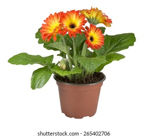 two colors gerbera in a brown pot isolated on white background