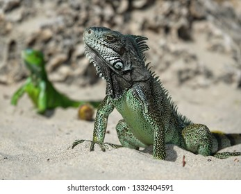 Two Colourful iguanas on the beach of Guadeloupe archipelago in the Caribbean sea