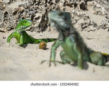 Two Colourful iguanas in perspective on the beach of Guadeloupe archipelago in the Caribbean sea
