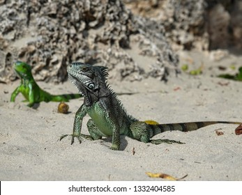 Two Colourful iguanas in sand on the beach of Guadeloupe archipelago in the Caribbean sea