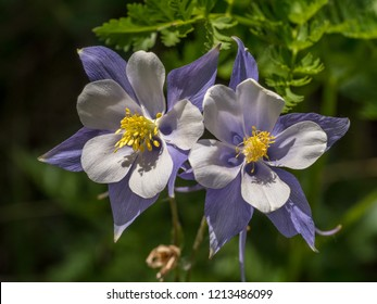 Two columbine flowers in the summer sun