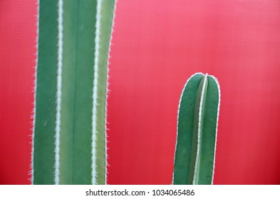 two columnar cacti in front of a red backdrop