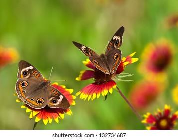 Two Common Buckeye butterflies (Junonia coenia) feeding on colorful Indian Blanket (Gaillardia pulchella) wildflowers. Natural green background.