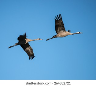 Two Common Cranes in Flight on Blue Sky