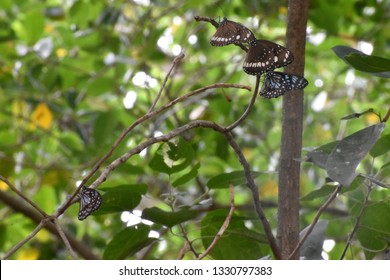 Two Common Crow butterflies and two Blue Tiger butterflies, resting on a branch at Kershaw Gardens, Rockhampton, Queensland, Australia