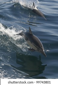 two common dolphin jump while  riding the wake of a boat