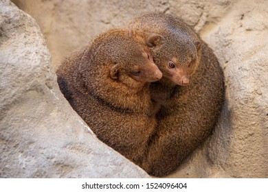 Two common dwarf mongooses (Helogale parvula) sitting in a hole of a rock and hugging each other