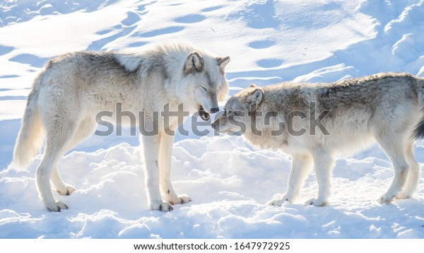 Two common grey wolves playing in the snow
