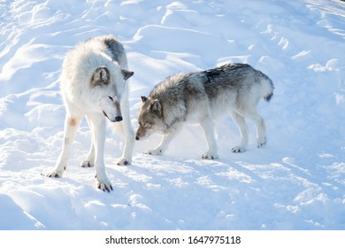 two-common-grey-wolves-standing-260nw-16
