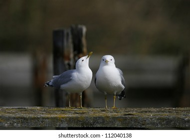 Two common gull birds standing on fence