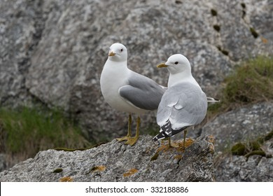 Two common gull standing on a rock to display
