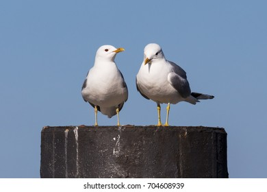 Two Common gulls (Mew gull, Larus canus) on dolphin in the harbour of Heiligenhafen at the Baltic Sea