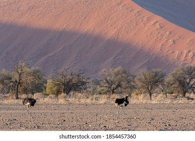 Two common ostrich (Struthio camelus) walking in the Namibian desert