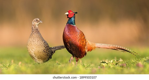 Two common pheasants, phasianus colchicus, standing close to each other during spring breeding season. Couple of cock and hen looking into camera on a sunny day from low angle perspective.