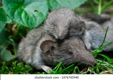 Two Common Shrew sleeping  in a meadow