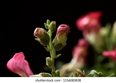 Two common snapdragon are born macro photo