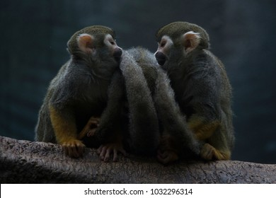 Two common squirrel monkeys preening each other at the Buffalo Zoo.