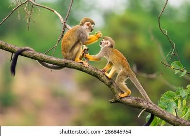 Two common squirrel monkeys (Saimiri sciureus) playing on a tree branch