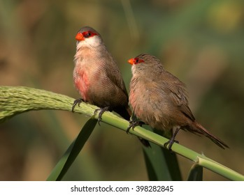 Two Common Waxbills, Estrilda astrild, pair of small colorful african birds with red beak and red eye stripe in mating season, perched on a green reed stem against blurred background. Madeira Island.