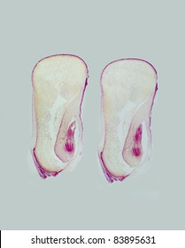 Two consecutive longitudinal sections of a corn kernel showing embryo parts.  Magnification 5x