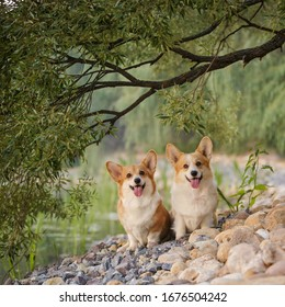 Two Corgi dog pembroke welsh corgi walking outdoor in summer park