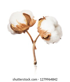Two cotton plant flowers close-up isolated on white background