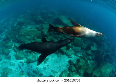 Two courting Californian sea lions of Mexico's Baja California
