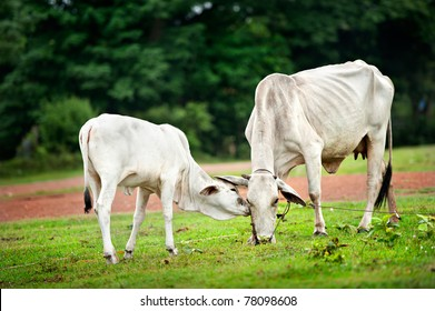 two cow eating grass