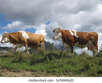 two cows in alpine pasture