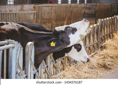 Two cows in the barn. Hay. One cow moos.