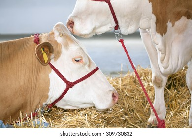Two cows at farm with straw background