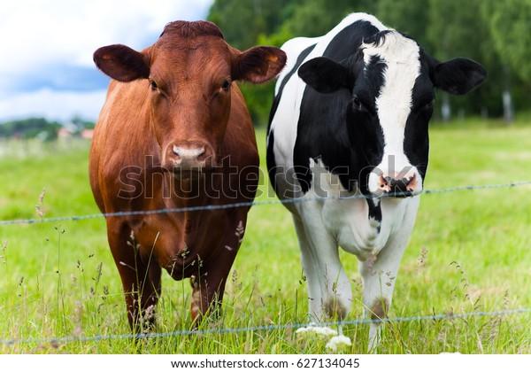 two-cows-field-600w-627134045.jpg